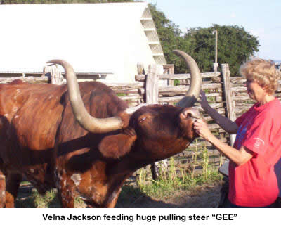 Feeding Long Horn cattle at the Home on the Range bed and breakfast in Stonewall, TX.